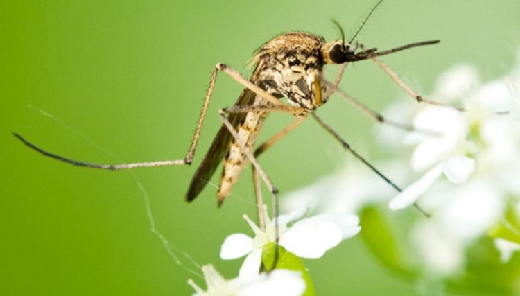 Комар жёлтолихорадочный